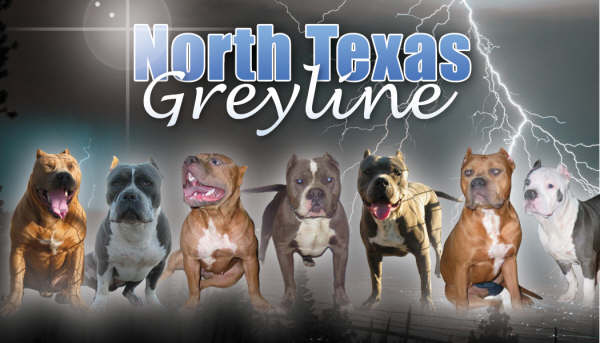www northtexasgreyline com  Producing Pitbulls/OG Greyline